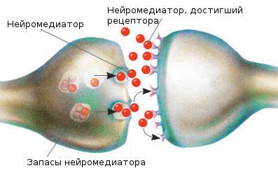 Передача нервного импульса в нейроне.
